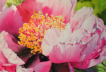Close up detail of a large peony flower